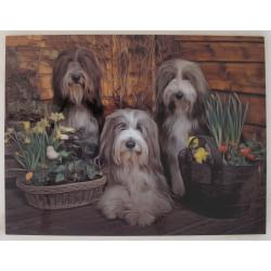 Bearded collie 11-cb